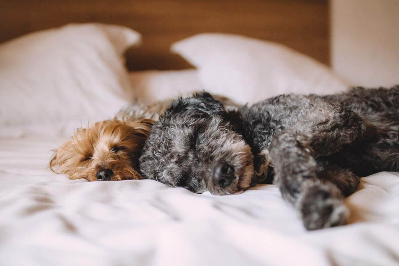 2 dog pets sleeping on the bed